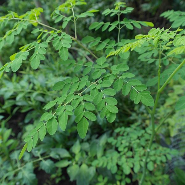 plant 2307261 1920 La poudre de moringa dHaïti